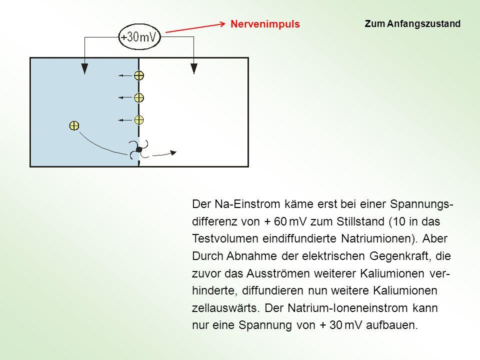 Der Na-Einstrom käme erst bei einer Spannungs- differenz von + 60 mV zum Stillstand (10 in das Testvolumen eindiffundierte Natriumionen). Aber Durch A