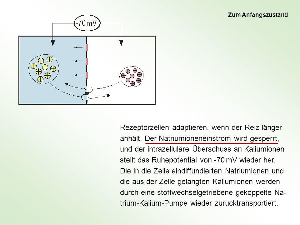 Rezeptorzellen adaptieren, wenn der Reiz länger anhält. Der Natriumioneneinstrom wird gesperrt, und der intrazelluläre Überschuss an Kaliumionen stell