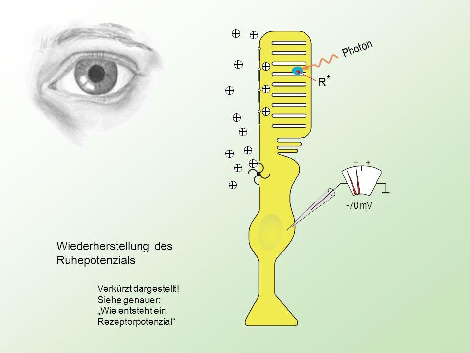 Photon -70 mV R*R* Wiederherstellung des Ruhepotenzials Verkürzt dargestellt ! Siehe genauer: Wie entsteht ein Rezeptorpotenzial