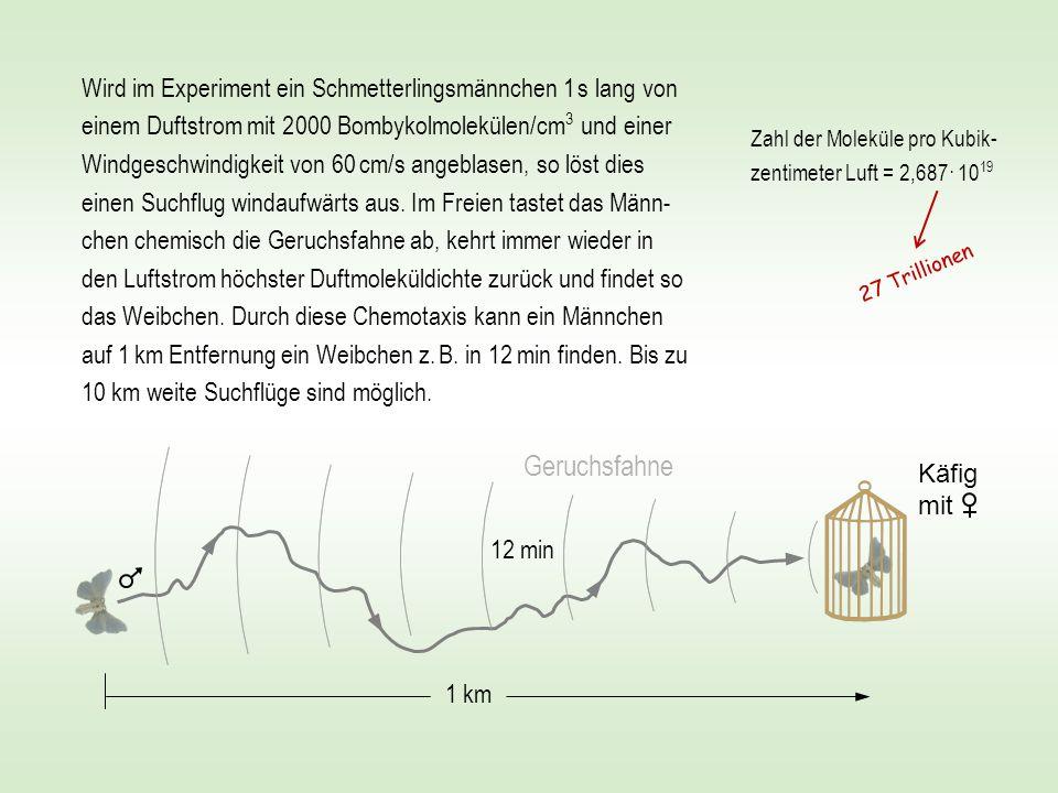 Wird im Experiment ein Schmetterlingsmännchen 1 s lang von einem Duftstrom mit 2 000 Bombykolmolekülen/cm 3 und einer Windgeschwindigkeit von 60 cm/s