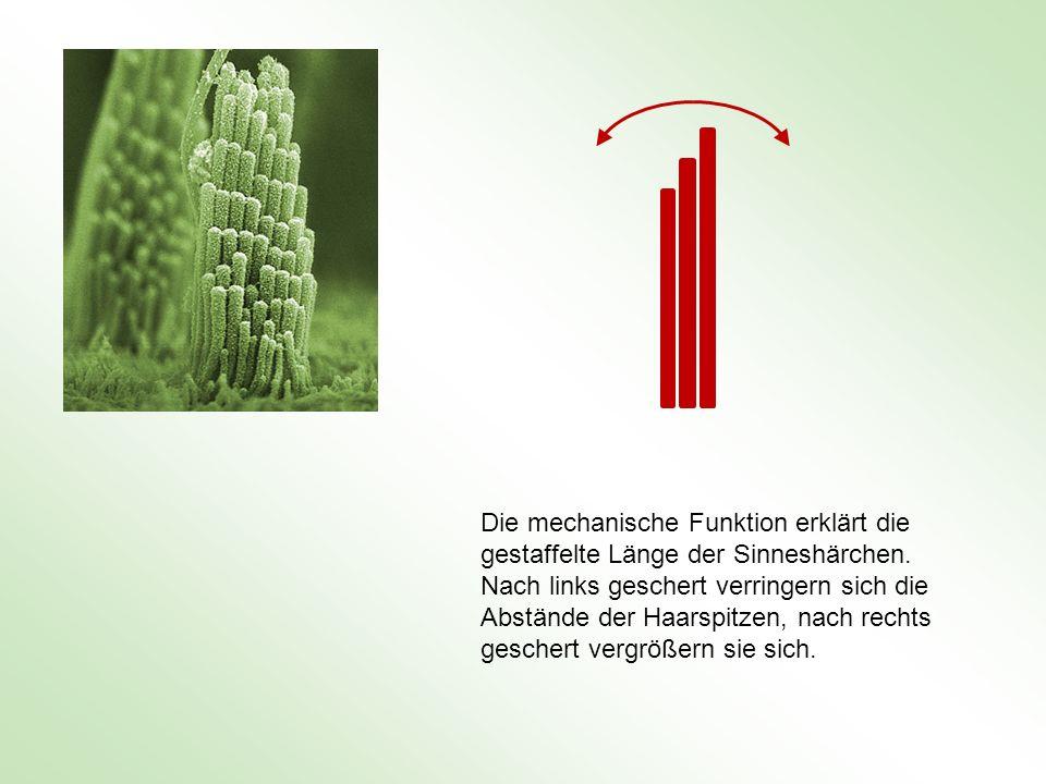 Die mechanische Funktion erklärt die gestaffelte Länge der Sinneshärchen. Nach links geschert verringern sich die Abstände der Haarspitzen, nach recht