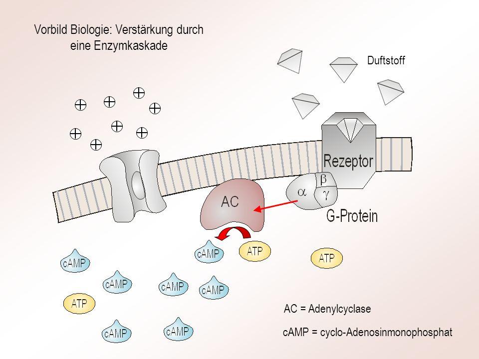 AC = Adenylcyclase cAMP = cyclo-Adenosinmonophosphat Vorbild Biologie: Verstärkung durch eine Enzymkaskade Duftstoff
