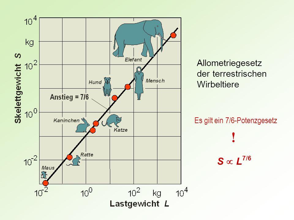 Allometriegesetz der terrestrischen Wirbeltiere Es gilt ein 7/6-Potenzgesetz ! S L 7/6