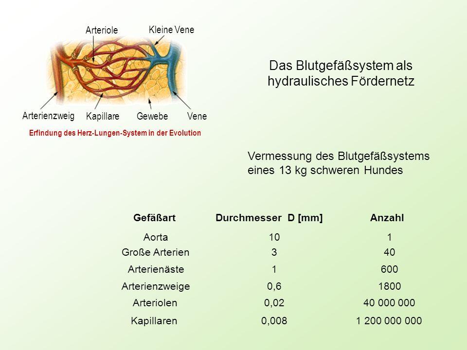 Arterienzweig Kapillare Gewebe Vene Kleine Vene Arteriole GefäßartDurchmesser D [mm]Anzahl Aorta101 Große Arterien340 Arterienäste1600 Arterienzweige0