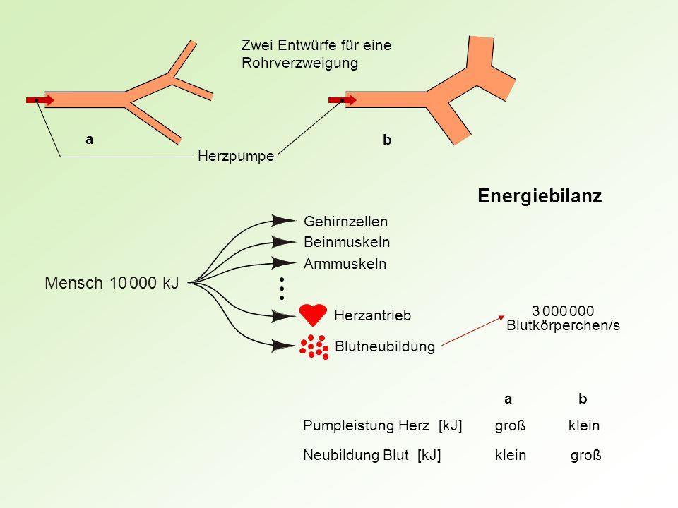 Gehirnzellen Beinmuskeln Armmuskeln Herzantrieb Blutneubildung Mensch 10 000 kJ ab Pumpleistung Herz [kJ]großklein Neubildung Blut [kJ]kleingroß a b Z
