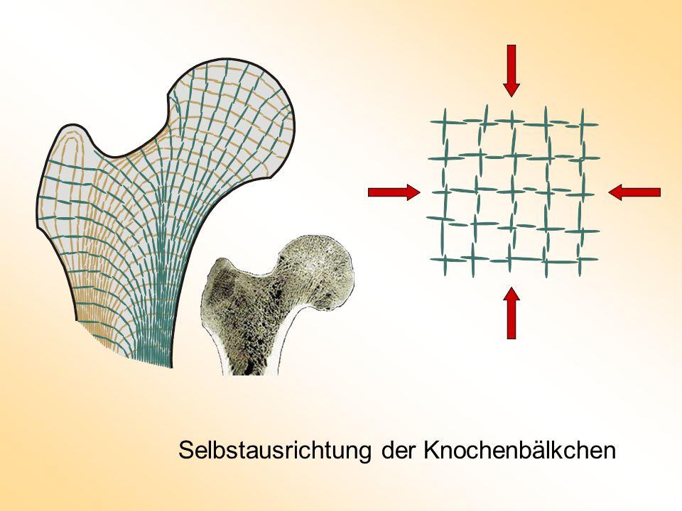 Selbstausrichtung der Knochenbälkchen