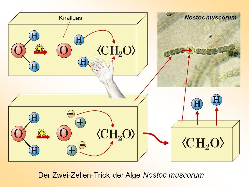 Der Zwei-Zellen-Trick der Alge Nostoc muscorum Nostoc muscorum Knallgas