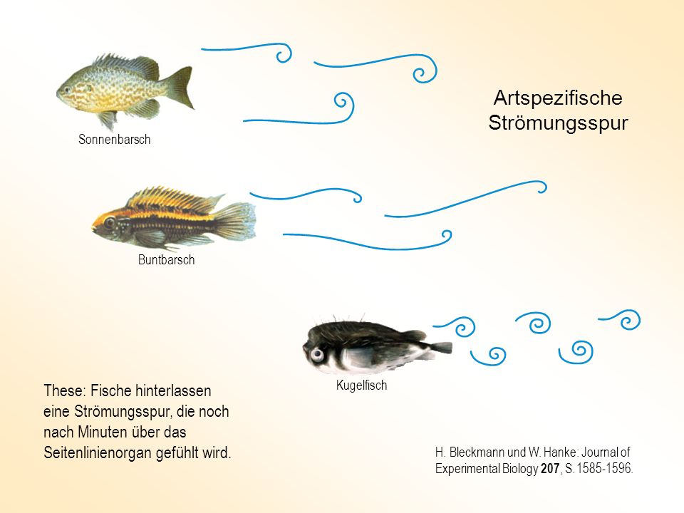 These: Fische hinterlassen eine Strömungsspur, die noch nach Minuten über das Seitenlinienorgan gefühlt wird. Artspezifische Strömungsspur Kugelfisch