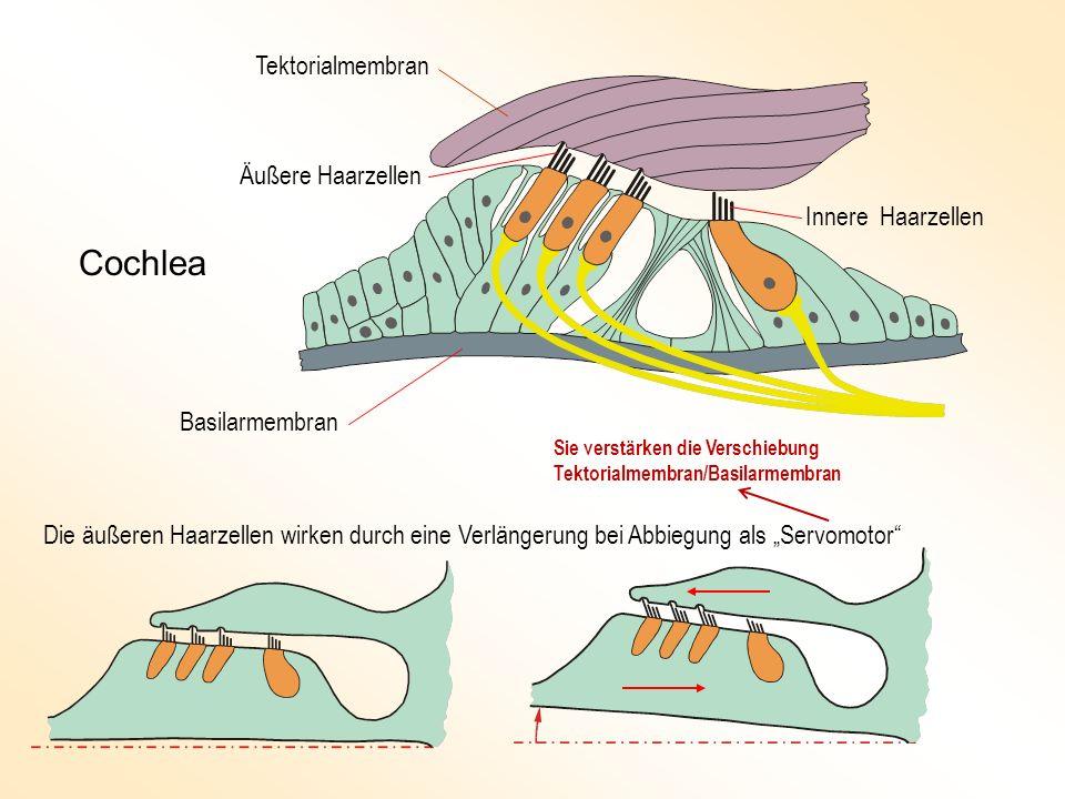 Tektorialmembran Basilarmembran Äußere Haarzellen Innere Haarzellen Die äußeren Haarzellen wirken durch eine Verlängerung bei Abbiegung als Servomotor