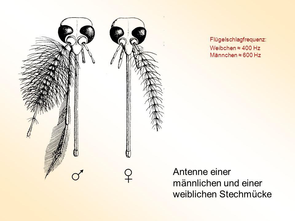 Antenne einer männlichen und einer weiblichen Stechmücke Flügelschlagfrequenz: Weibchen 400 Hz Männchen 600 Hz