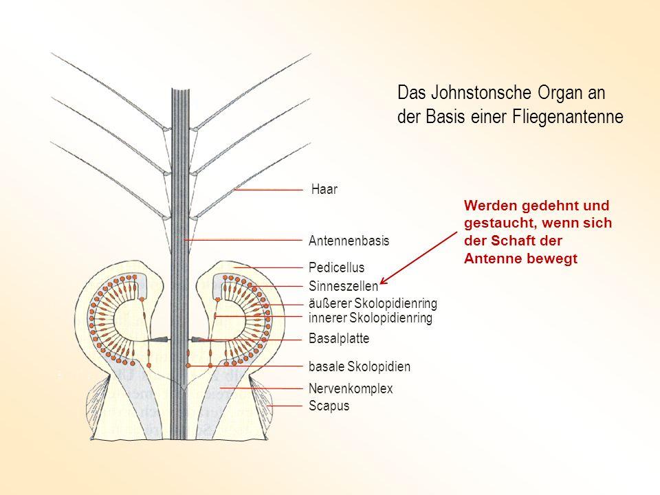 Haar Antennenbasis Pedicellus Sinneszellen äußerer Skolopidienring Basalplatte innerer Skolopidienring basale Skolopidien Nervenkomplex Scapus Das Joh