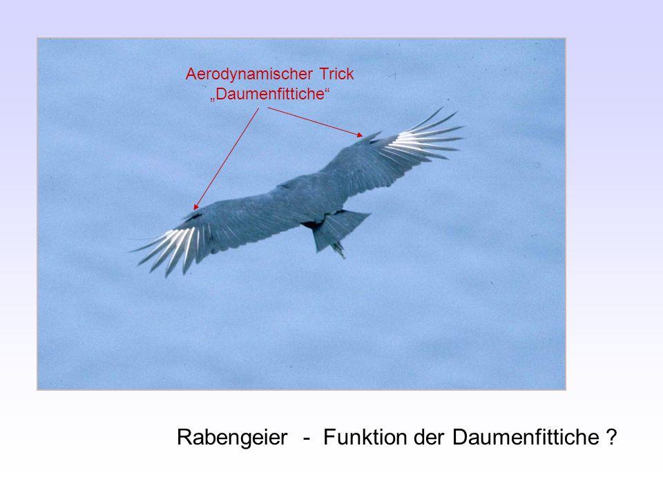 Rabengeier - Funktion der Daumenfittiche ? Aerodynamischer Trick Daumenfittiche