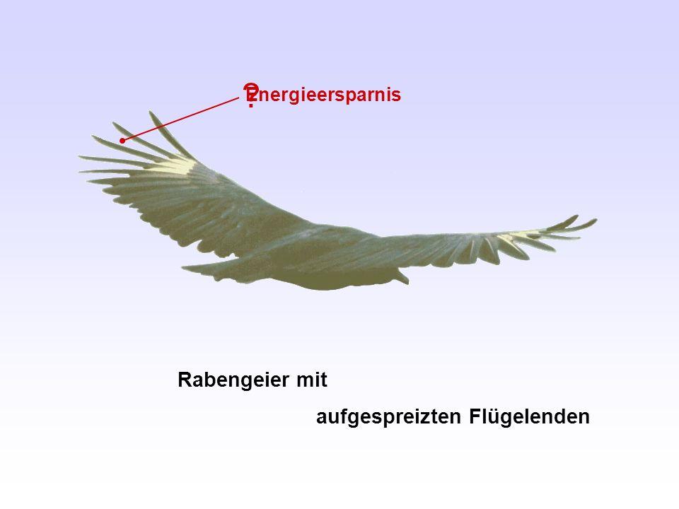 Rabengeier mit aufgespreizten Flügelenden ? Energieersparnis