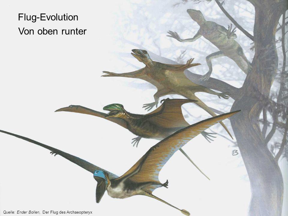 Quelle: Ender Bollen, Der Flug des Archaeopteryx Flug-Evolution Von oben runter