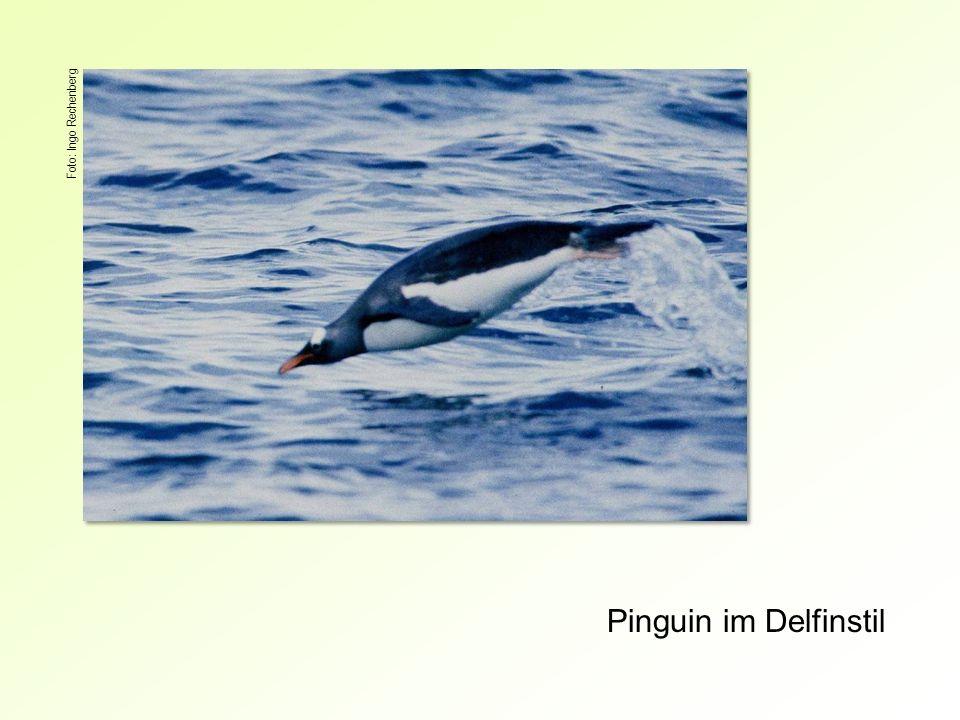 Pinguin im Delfinstil Foto: Ingo Rechenberg