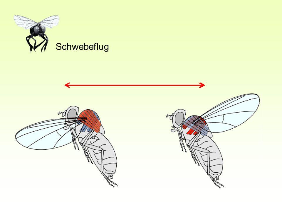 Schwebeflug