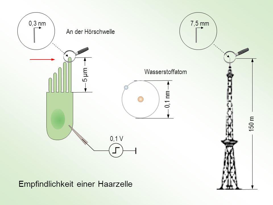 7,5 mm 150 m 0,3 nm 5 μm5 μm An der Hörschwelle 0,1 nm Wasserstoffatom Empfindlichkeit einer Haarzelle 0,1 V