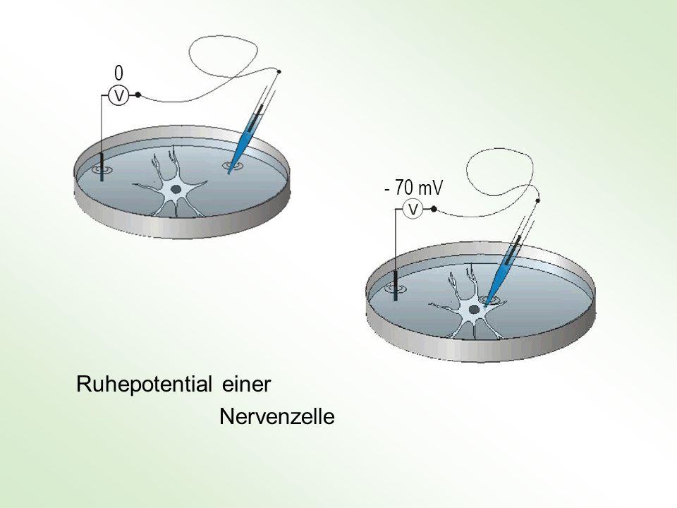 Ruhepotential einer Nervenzelle - 70 mV 0