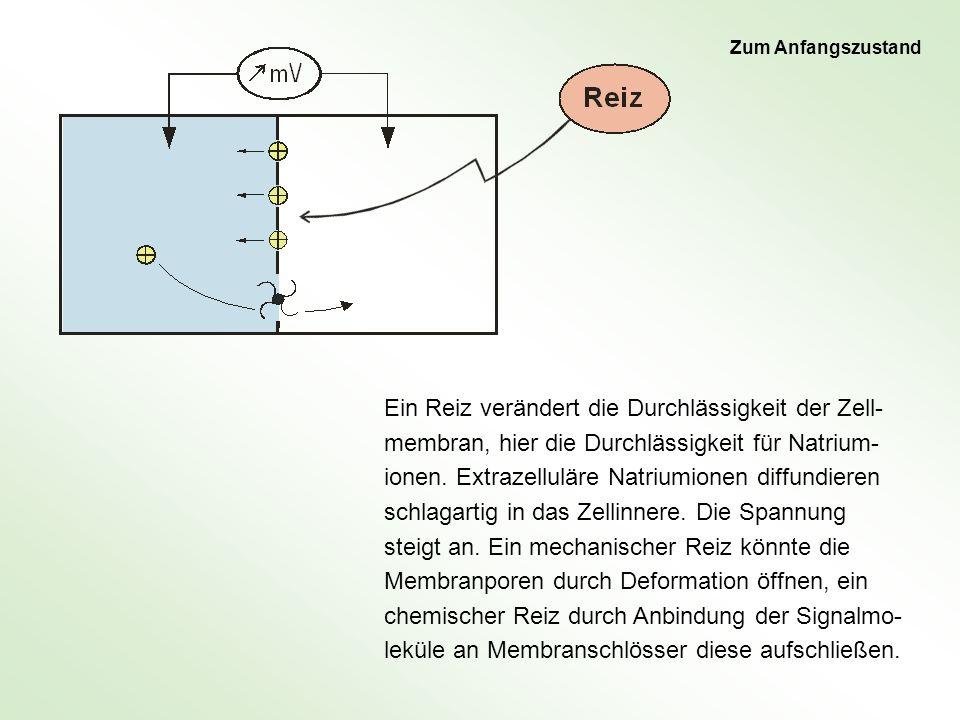 Ein Reiz verändert die Durchlässigkeit der Zell- membran, hier die Durchlässigkeit für Natrium- ionen. Extrazelluläre Natriumionen diffundieren schlag