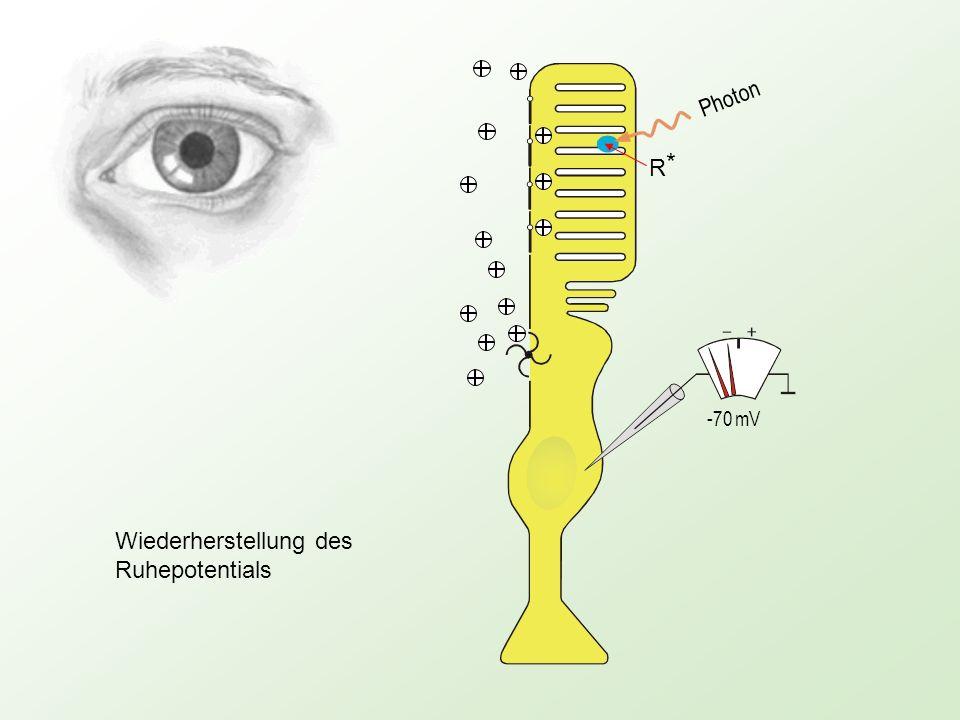 Photon -70 mV R*R* Wiederherstellung des Ruhepotentials