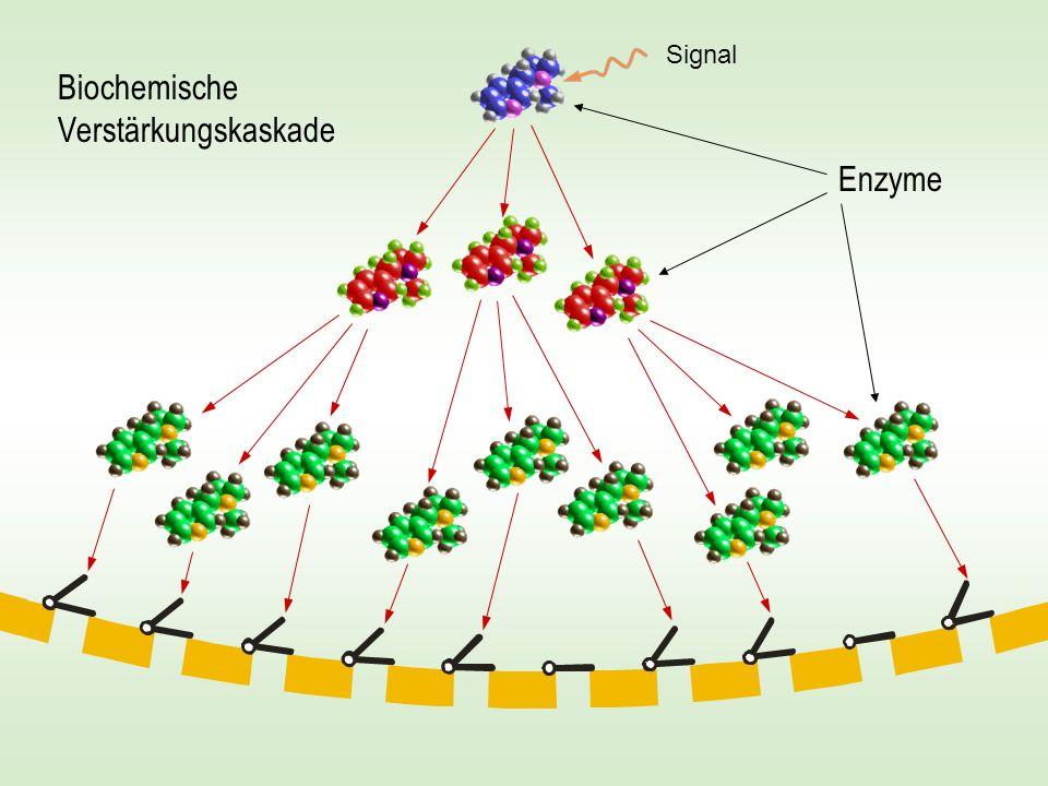 Biochemische Verstärkungskaskade Enzyme Signal