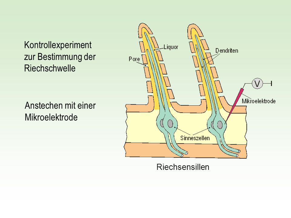 Riechsensillen Kontrollexperiment zur Bestimmung der Riechschwelle Anstechen mit einer Mikroelektrode