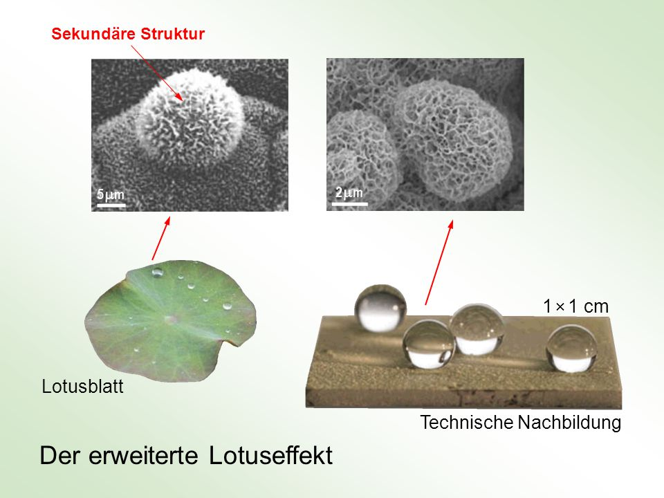 Der erweiterte Lotuseffekt Lotusblatt 1 × 1 cm Technische Nachbildung Sekundäre Struktur