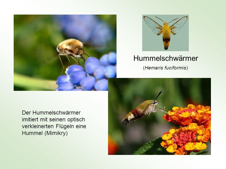 Hummelschwärmer Der Hummelschwärmer imitiert mit seinen optisch verkleinerten Flügeln eine Hummel (Mimikry) (Hemaris fuciformis)
