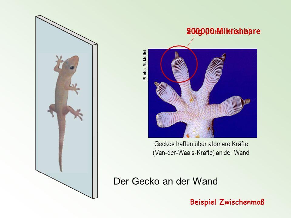 Geckos haften über atomare Kräfte (Van-der-Waals-Kräfte) an der Wand Der Gecko an der Wand 500 000 Mikrohaare 2 kg (theoretisch) Photo: M. Moffet Beis
