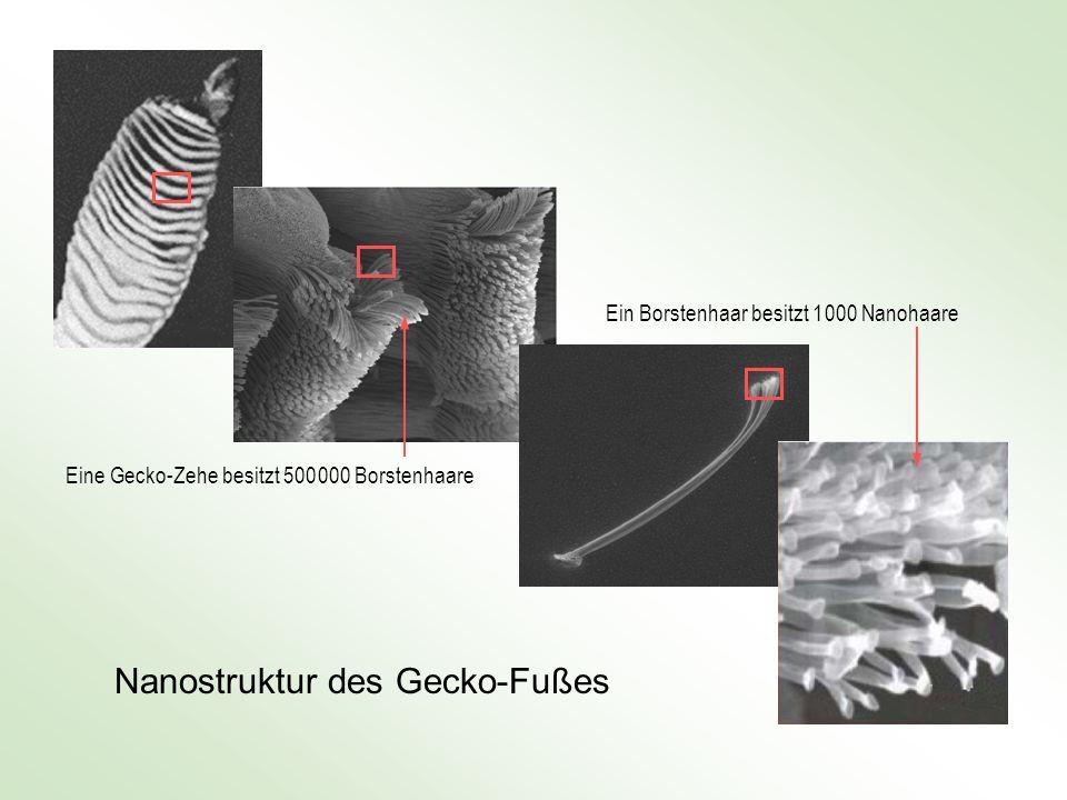 Eine Gecko-Zehe besitzt 500 000 Borstenhaare Ein Borstenhaar besitzt 1 000 Nanohaare Nanostruktur des Gecko-Fußes