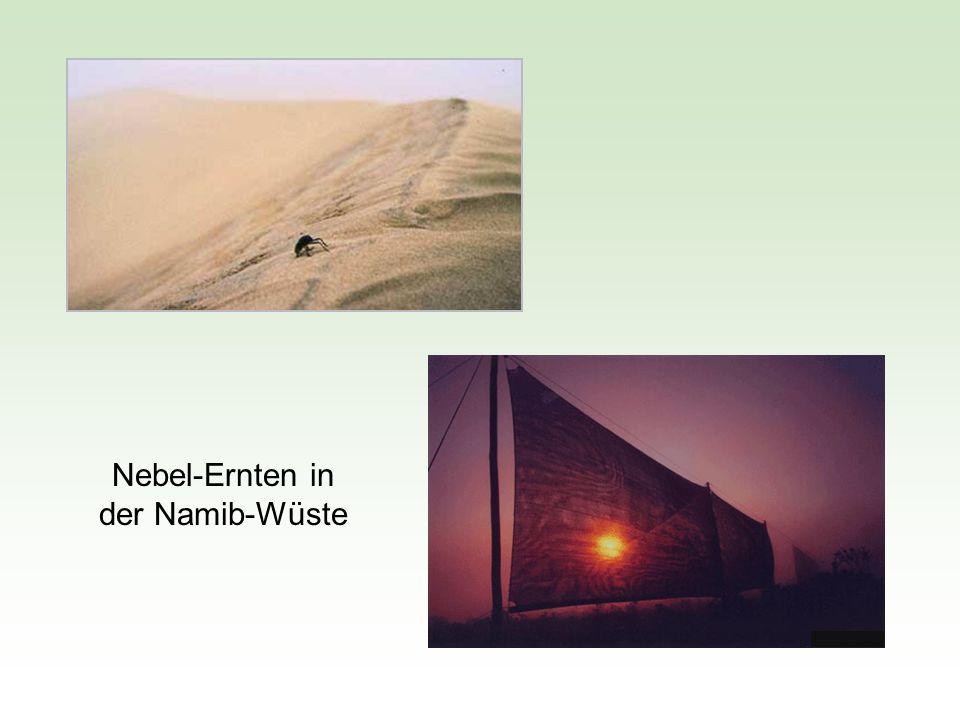 Nebel-Ernten in der Namib-Wüste