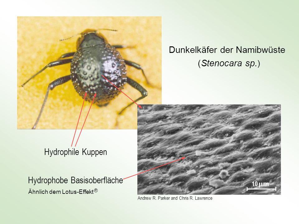 Dunkelkäfer der Namibwüste (Stenocara sp. ) Andrew R. Parker and Chris R. Lawrence 10 m Hydrophobe Basisoberfläche Hydrophile Kuppen Ähnlich dem Lotus