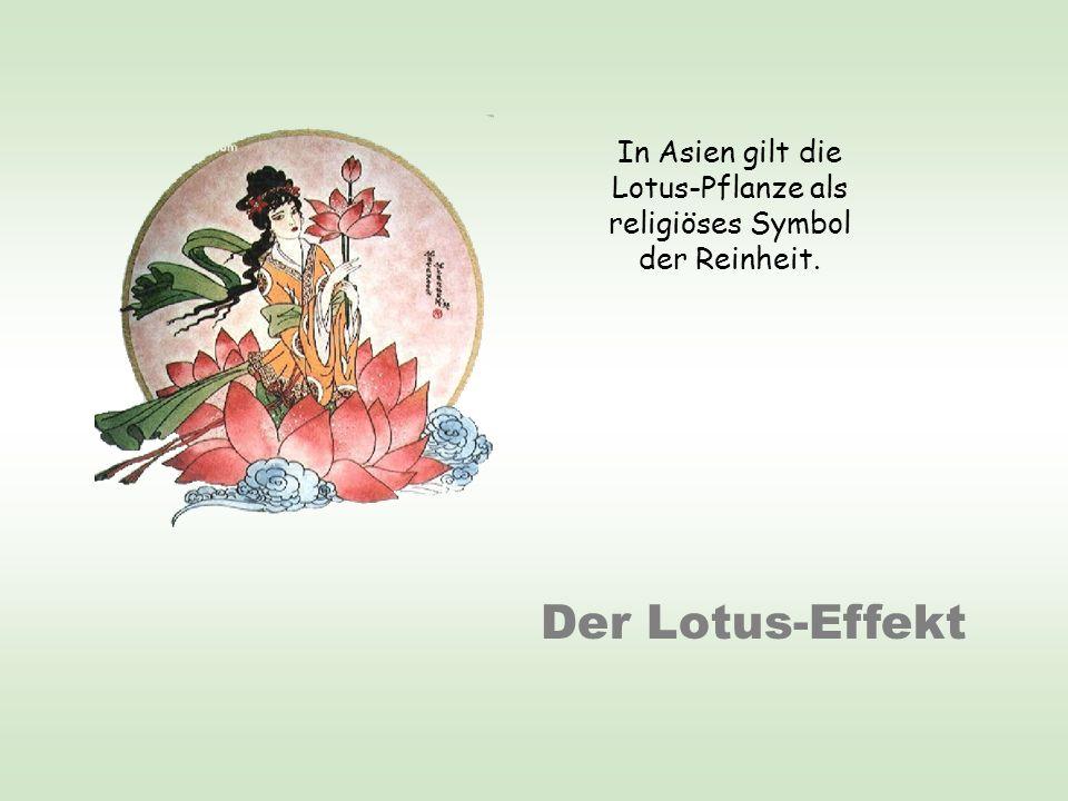 Der Lotus-Effekt In Asien gilt die Lotus-Pflanze als religiöses Symbol der Reinheit.