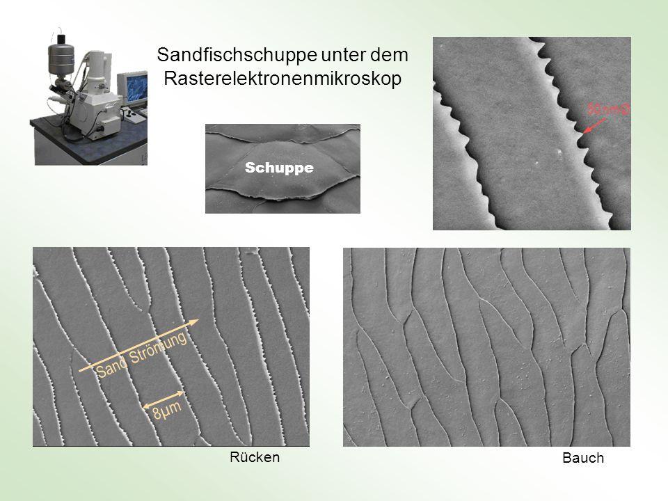 Sandfischschuppe unter dem Rasterelektronenmikroskop 8µm8µm Sand Strömung Rücken Bauch 50 nm Ø Schuppe