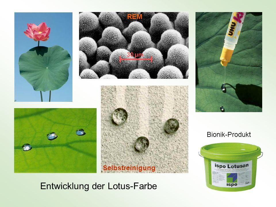Entwicklung der Lotus-Farbe Bionik-Produkt REM Selbstreinigung 30 μm