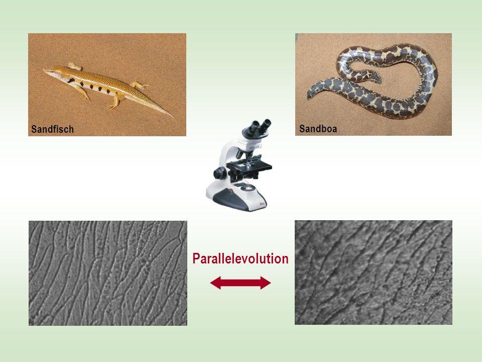 Sandfisch Parallelevolution Sandboa