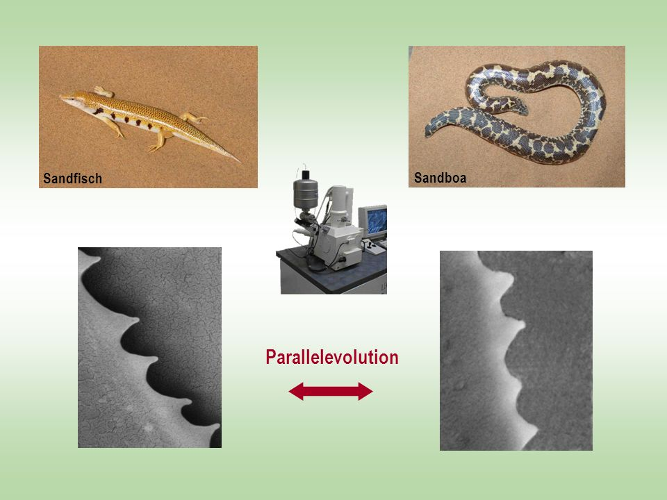 Sandskink Parallelevolution Sandfisch Sandboa