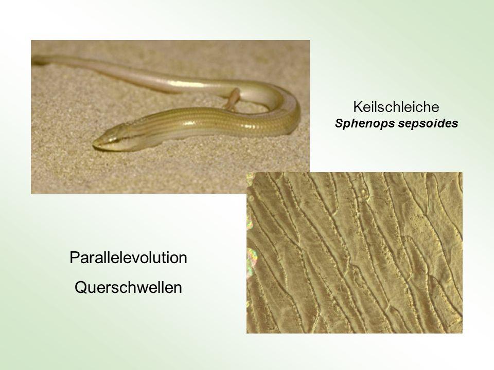 Keilschleiche Sphenops sepsoides Parallelevolution Querschwellen