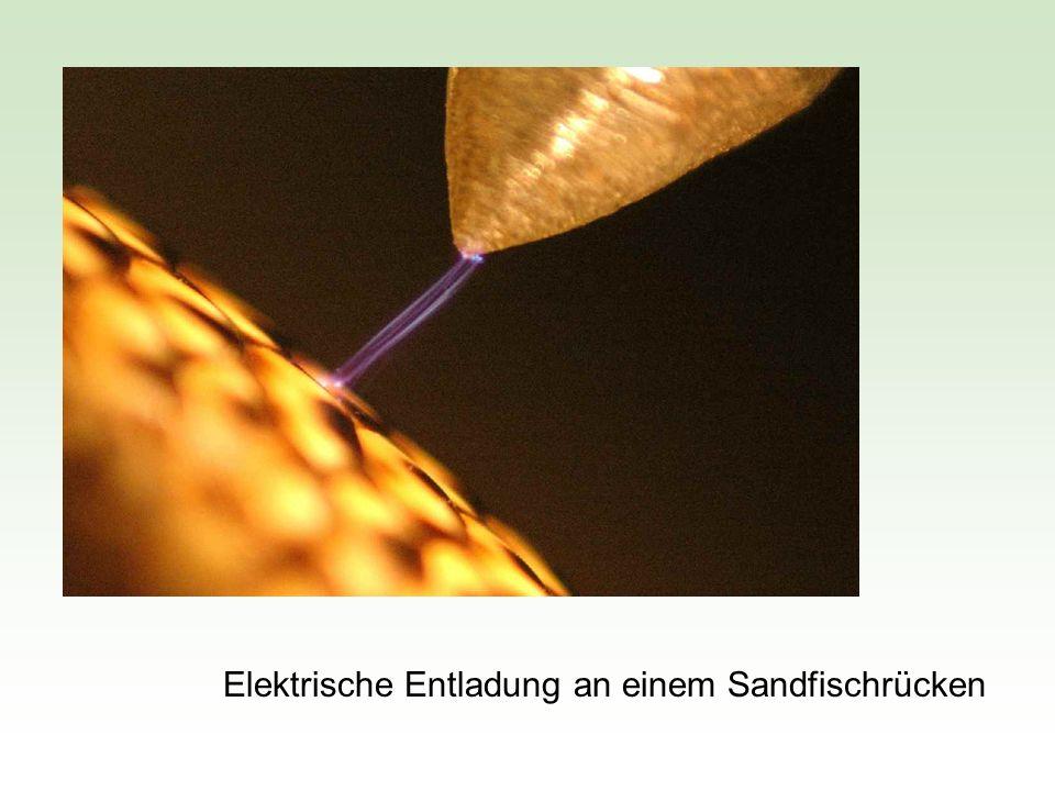 Elektrische Entladung an einem Sandfischrücken