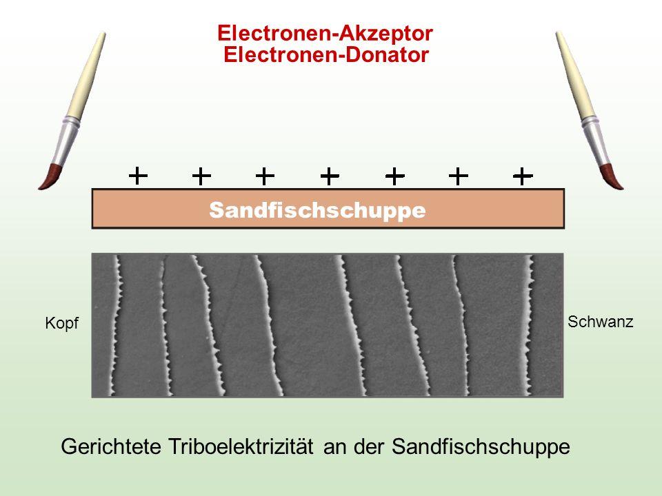 Gerichtete Triboelektrizität an der Sandfischschuppe Electronen-Donator Electronen-Akzeptor Sandfischschuppe Kopf Schwanz