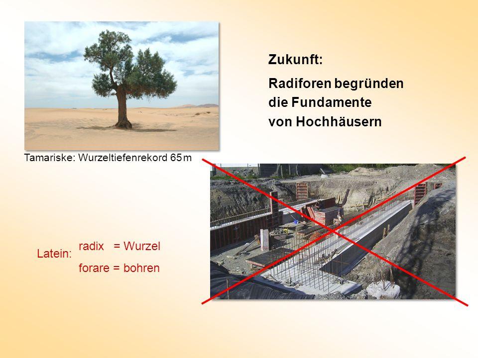 Zukunft: Radiforen begründen die Fundamente von Hochhäusern Tamariske: Wurzeltiefenrekord 65 m radix = Wurzel forare = bohren Latein: