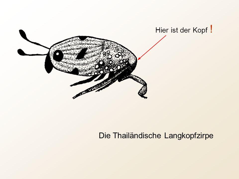 Die Thailändische Langkopfzirpe Hier ist der Kopf !