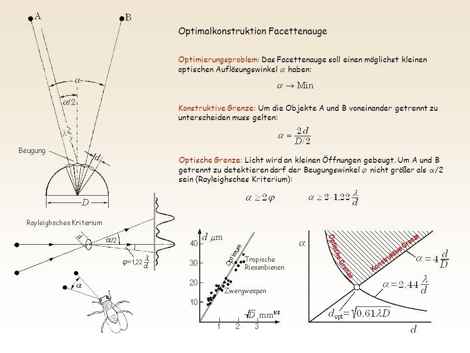 Optimierungsproblem: Das Facettenauge soll einen möglichst kleinen optischen Auflösungswinkel haben: Konstruktive Grenze: Um die Objekte A und B vonei