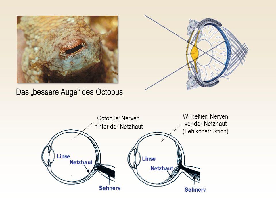Das bessere Auge des Octopus Octopus: Nerven hinter der Netzhaut Wirbeltier: Nerven vor der Netzhaut (Fehlkonstruktion)