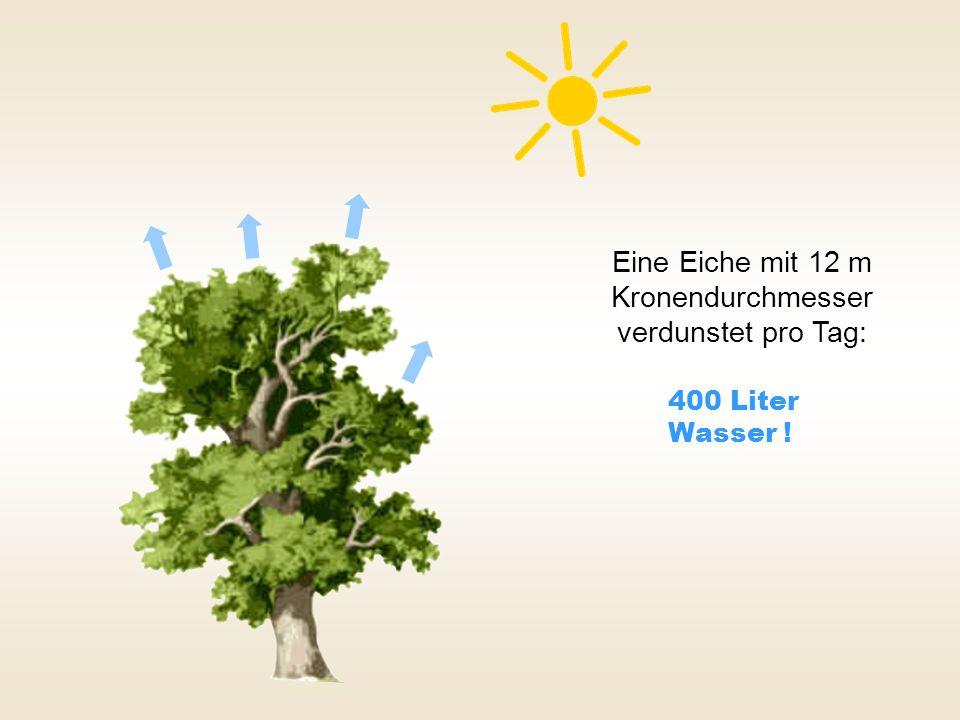 Eine Eiche mit 12 m Kronendurchmesser verdunstet pro Tag: 400 Liter Wasser !