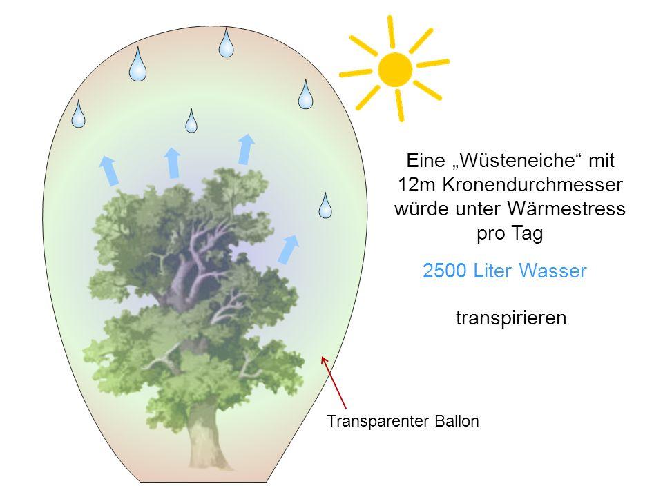 Eine Wüsteneiche mit 12m Kronendurchmesser würde unter Wärmestress pro Tag 2500 Liter Wasser Transparenter Ballon transpirieren