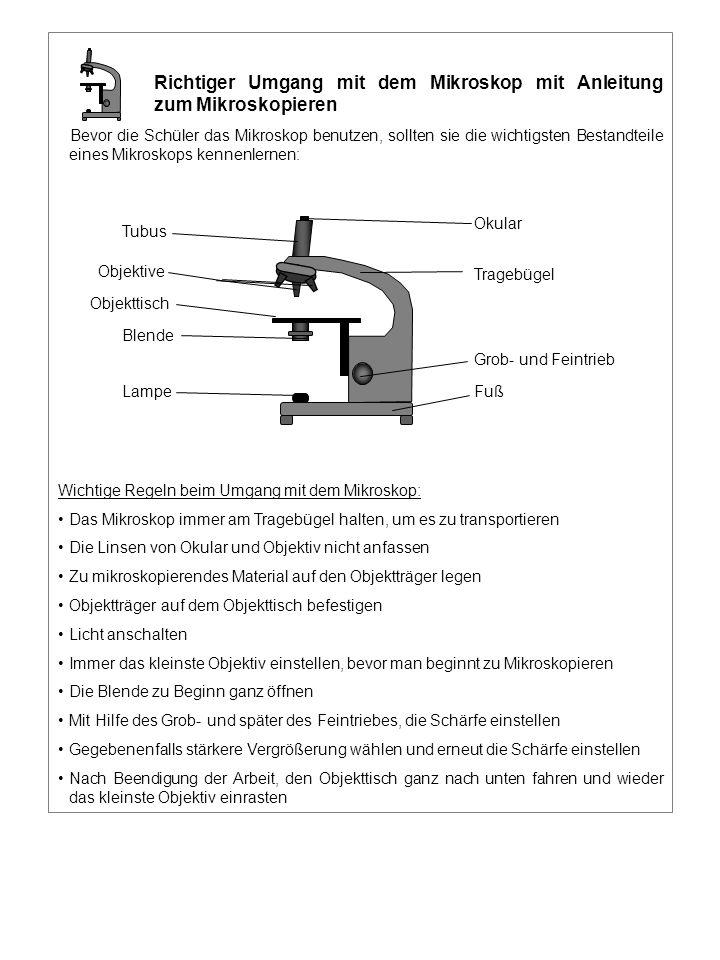 Grob- und Feintrieb Fuß Tragebügel Okular Tubus Objektive Objekttisch Blende Lampe Richtiger Umgang mit dem Mikroskop mit Anleitung zum Mikroskopieren Bevor die Schüler das Mikroskop benutzen, sollten sie die wichtigsten Bestandteile eines Mikroskops kennenlernen: Wichtige Regeln beim Umgang mit dem Mikroskop: Das Mikroskop immer am Tragebügel halten, um es zu transportieren Die Linsen von Okular und Objektiv nicht anfassen Zu mikroskopierendes Material auf den Objektträger legen Objektträger auf dem Objekttisch befestigen Licht anschalten Immer das kleinste Objektiv einstellen, bevor man beginnt zu Mikroskopieren Die Blende zu Beginn ganz öffnen Mit Hilfe des Grob- und später des Feintriebes, die Schärfe einstellen Gegebenenfalls stärkere Vergrößerung wählen und erneut die Schärfe einstellen Nach Beendigung der Arbeit, den Objekttisch ganz nach unten fahren und wieder das kleinste Objektiv einrasten