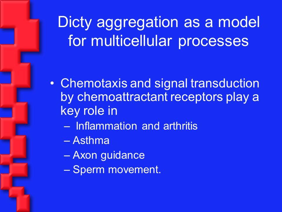 Differentiation Distinct phenotypes –Spore cells –Stalk cells Movie: © R.