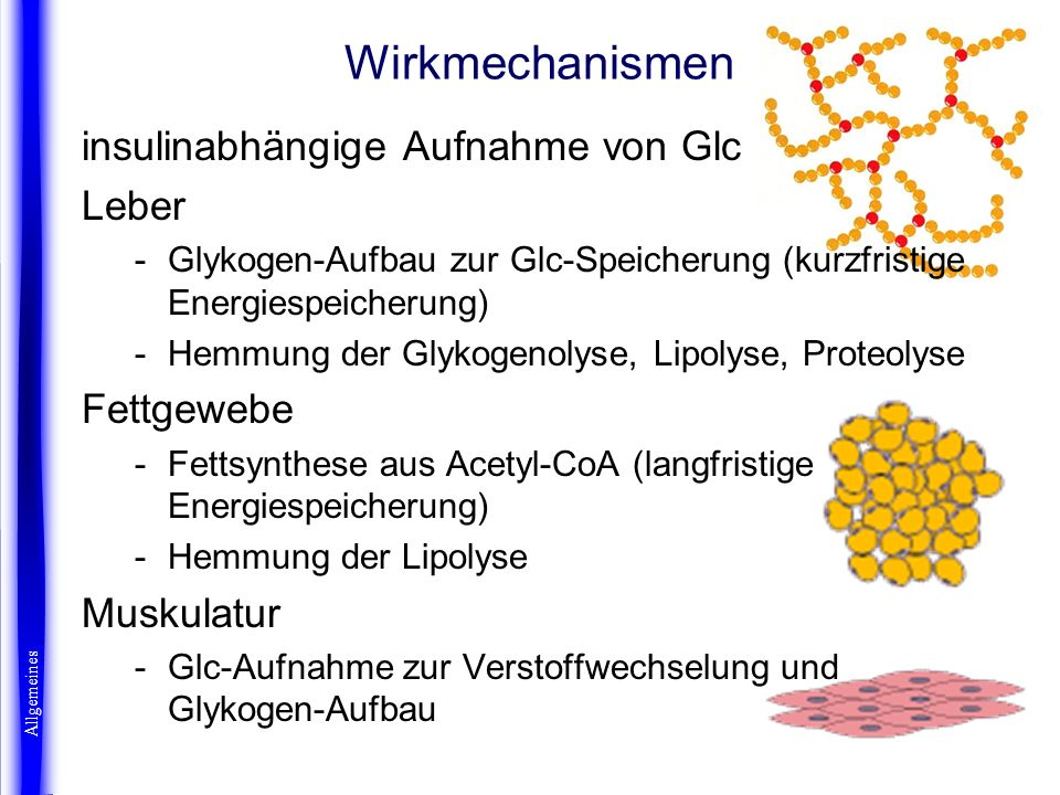 Wirkmechanismen Allgemeines insulinabhängige Aufnahme von Glc Leber -Glykogen-Aufbau zur Glc-Speicherung (kurzfristige Energiespeicherung) -Hemmung de
