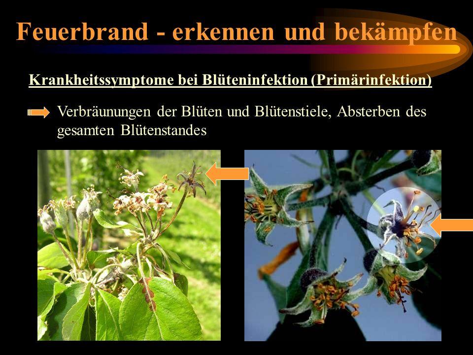 Feuerbrand - erkennen und bekämpfen Krankheitssymptome bei Blüteninfektion (Primärinfektion) Krankheitssymptome-Blüteninfektion Verbräunungen der Blüt